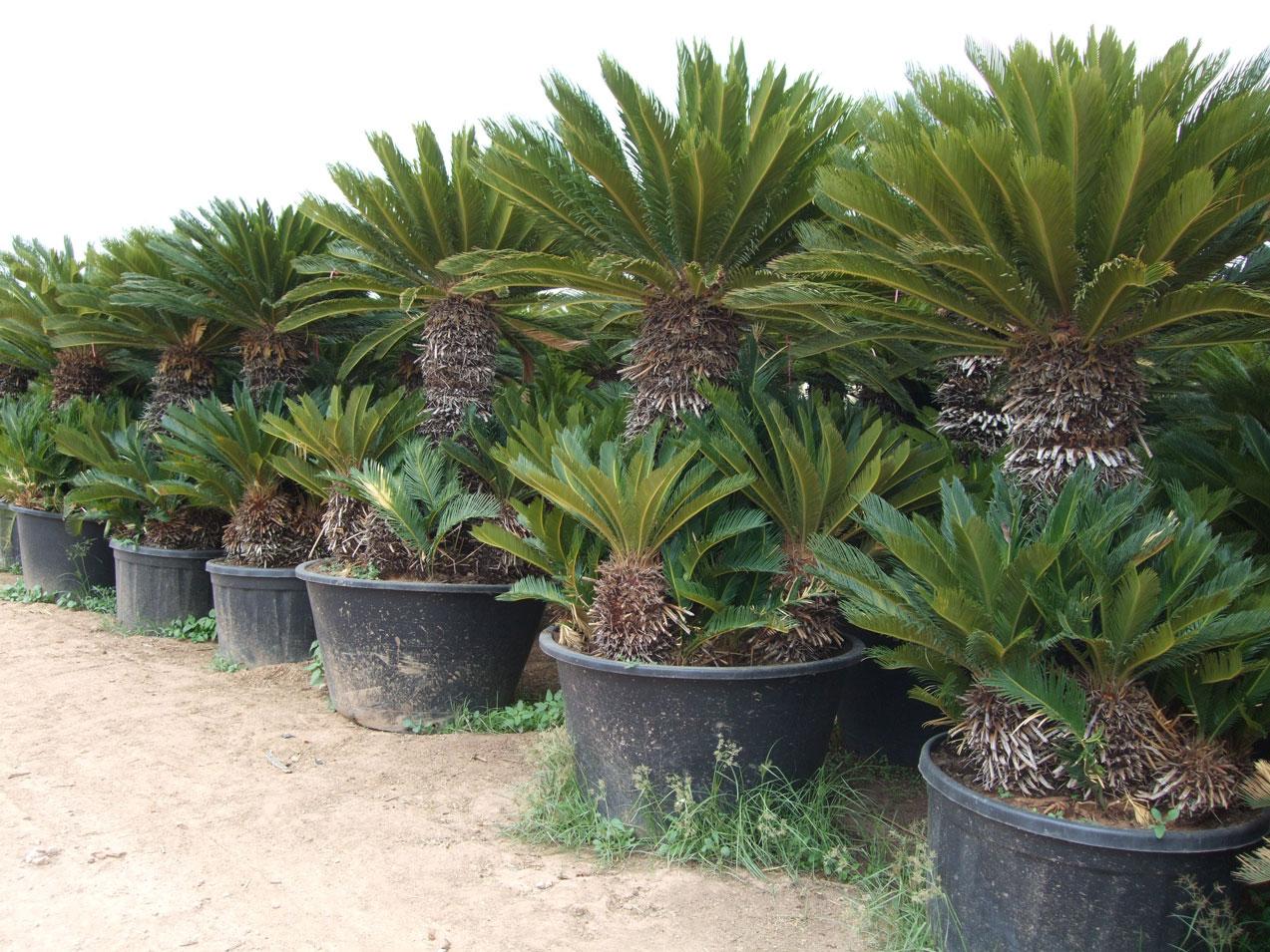 Cycas revolutas ramificadas - Tipos de palmeras de exterior ...
