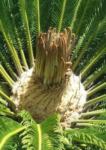cycas revoluta floración