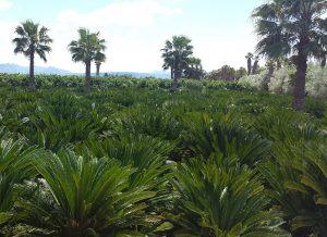 plantación cycas revoluta Alcudia