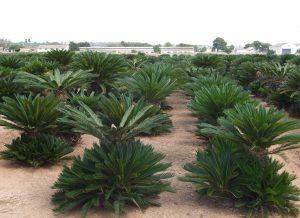 plantacion cycas revoluta palmera pequena