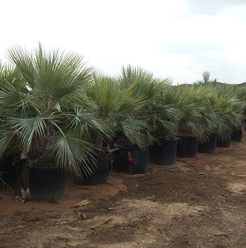 plantacion palmera-azul-brahea-armata